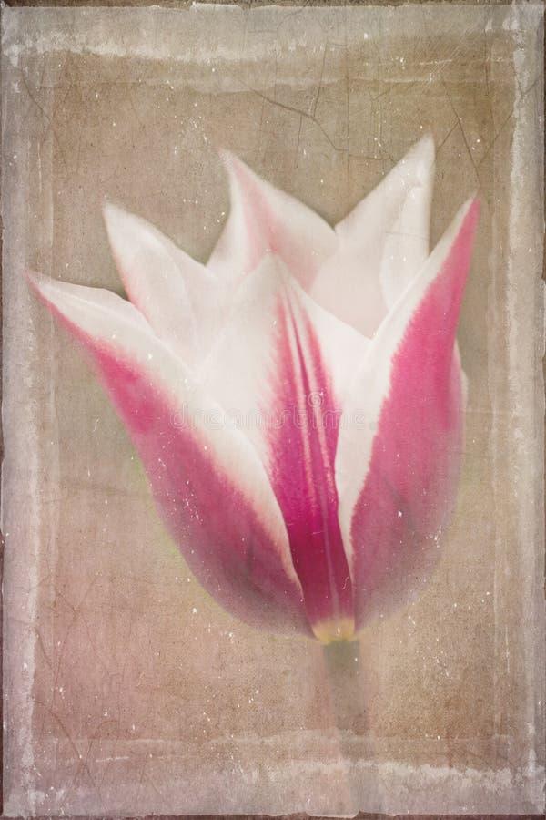 Tulipán rosado y blanco apenado foto de archivo