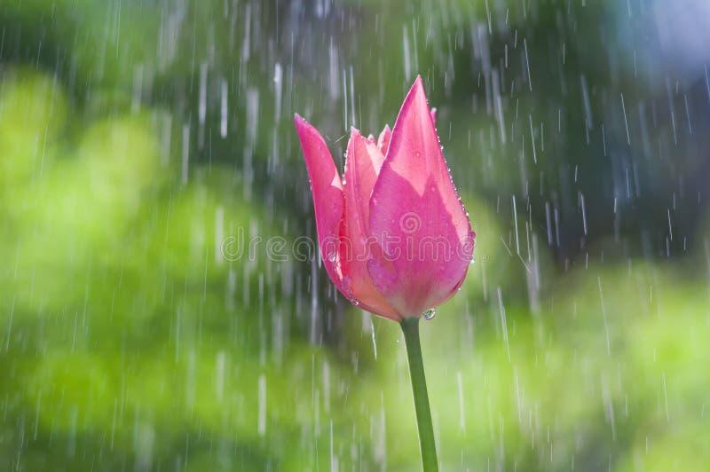 Tulipán rosado y púrpura en descensos del agua en la lluvia de primavera foto de archivo