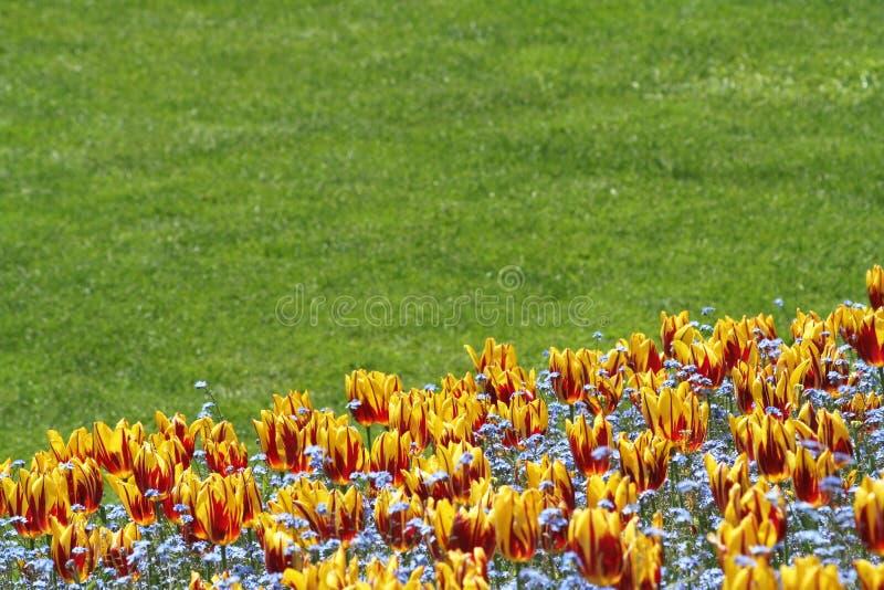 Tulipán y césped foto de archivo libre de regalías