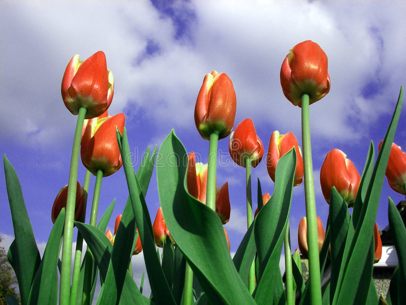 Download Tulip 10 stock photo. Image of background, growth, growing - 199506