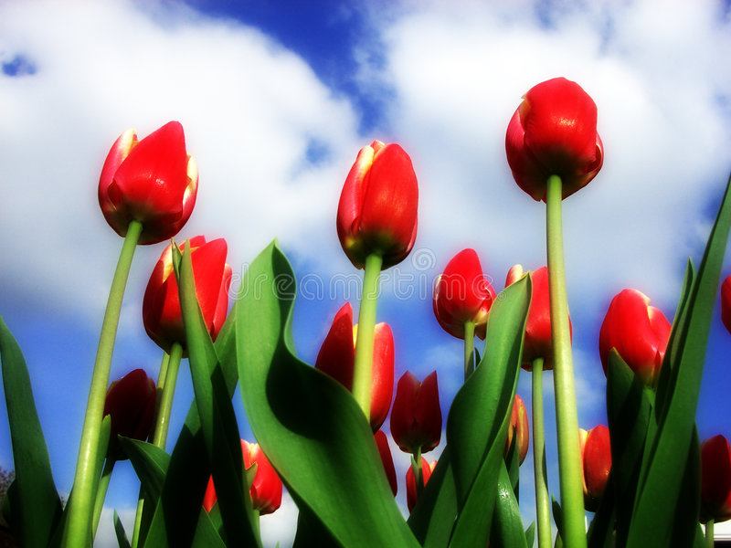 Download Tulip 12 stock photo. Image of horticultural, greenery - 199508