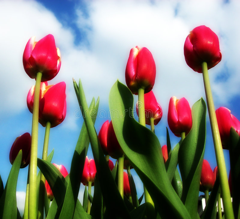 Download Tulip 14 stock image. Image of beautiful, garden, light - 199513