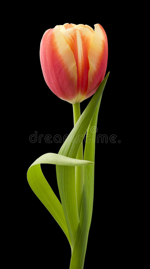 Tulip. Isolated against a black background. Isolation is on a transparent layer in the PNG format stock photography