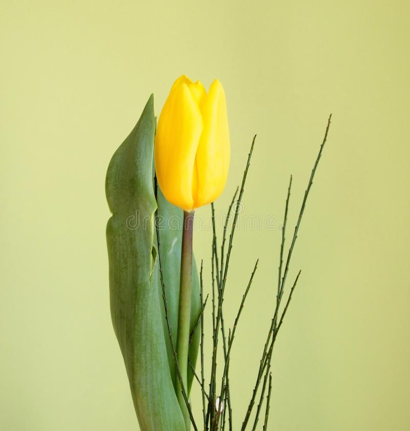 Download Tulip stock photo. Image of fresh, gift, natural, nature - 18721146