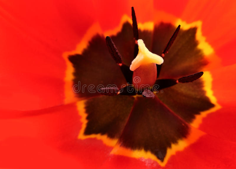 Download Tulip stock photo. Image of spring, bright, stem, macro - 19362294