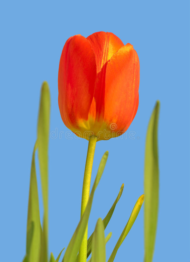 Download Tulip stock photo. Image of fragility, beauty, closeup - 19576626