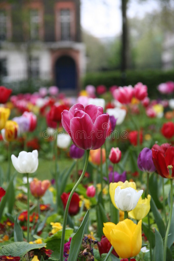 Tulip 2 royalty free stock image