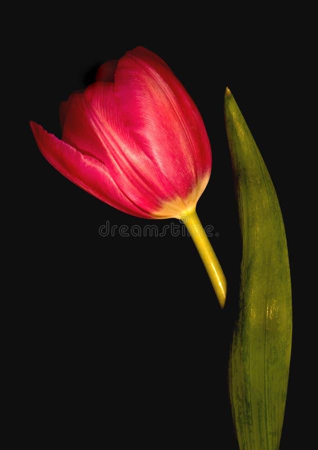 Free Tulip Stock Photo - 20293860