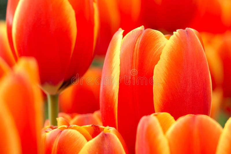 Download Tulip stock photo. Image of tulips, spring, blooming - 23102574