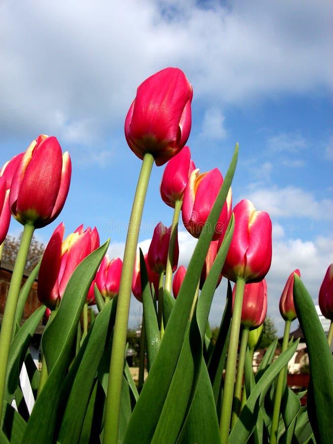 Tulip 3 fotos de stock royalty free