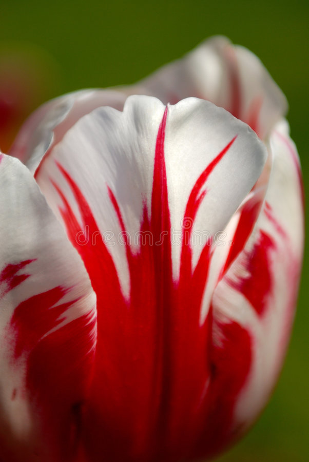 Free Tulip Royalty Free Stock Photo - 3376885