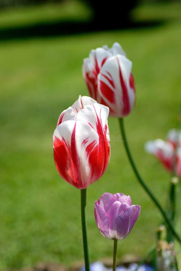 Free Tulip Stock Image - 3376911