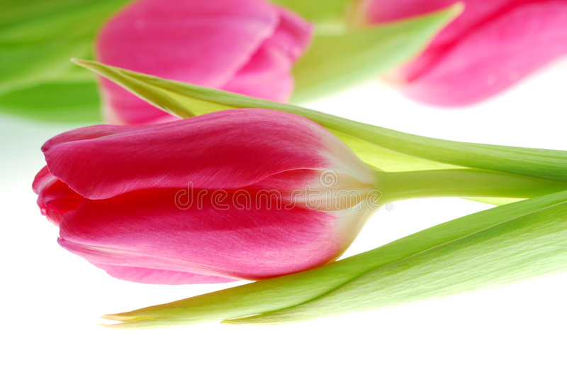 Tulip imagem de stock royalty free