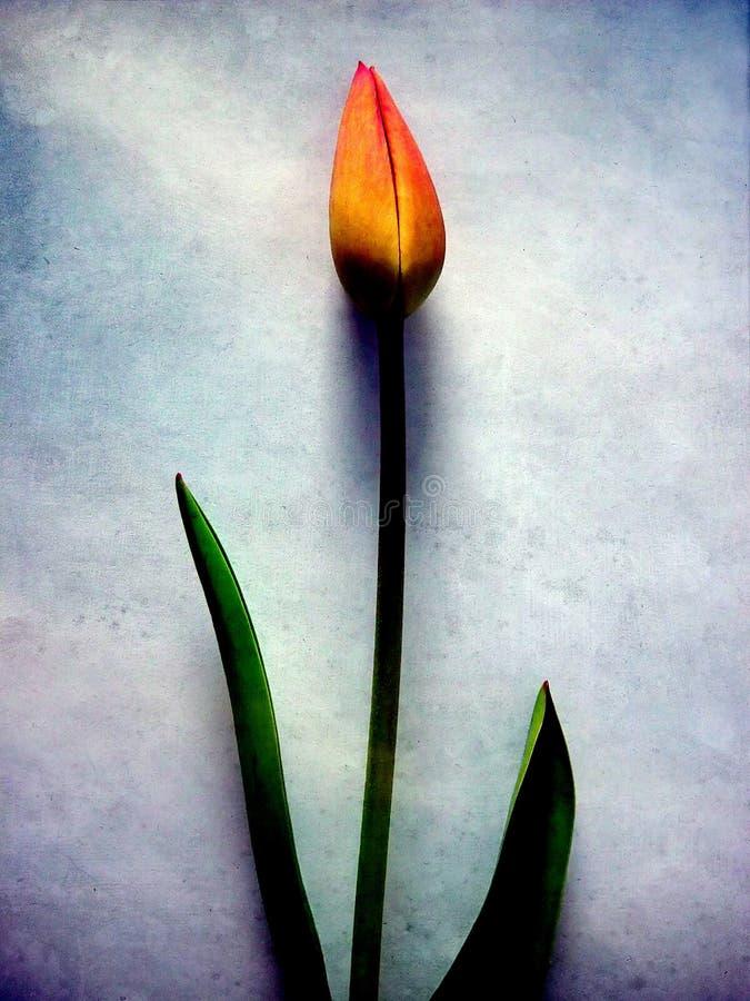 Tulip ilustração do vetor