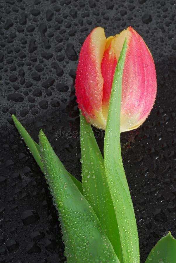 Free Tulip Royalty Free Stock Photos - 4488658