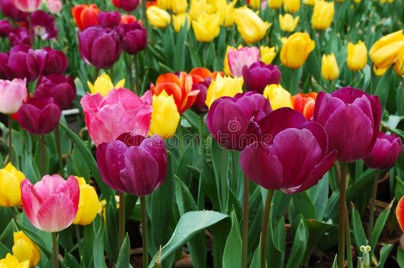 Download Tulip stock image. Image of leave, city, green, plant - 4673787