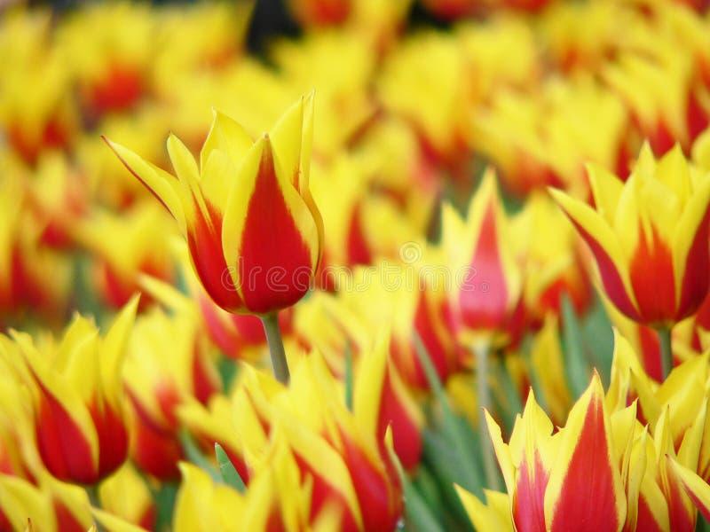 Download Tulip stock photo. Image of petal, arrangement, flowers - 5015062