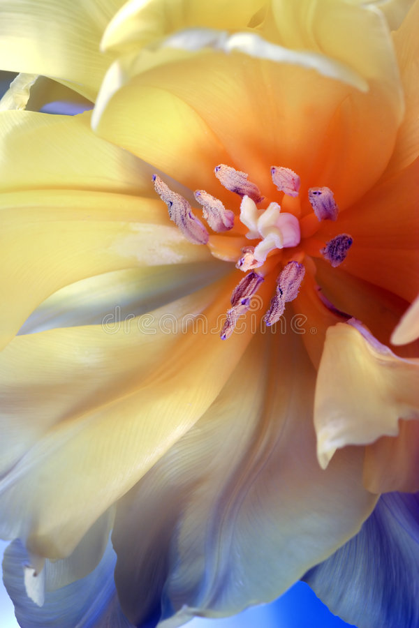 Tulip. Close up