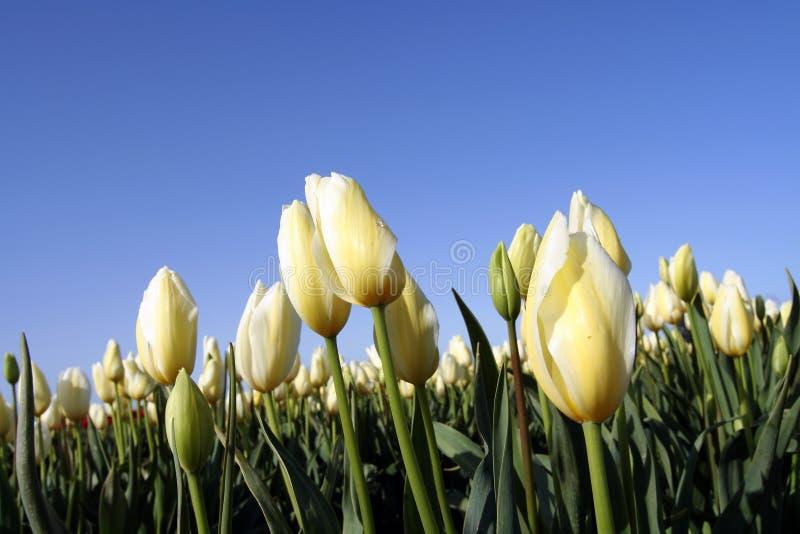 Tulip fotos de stock