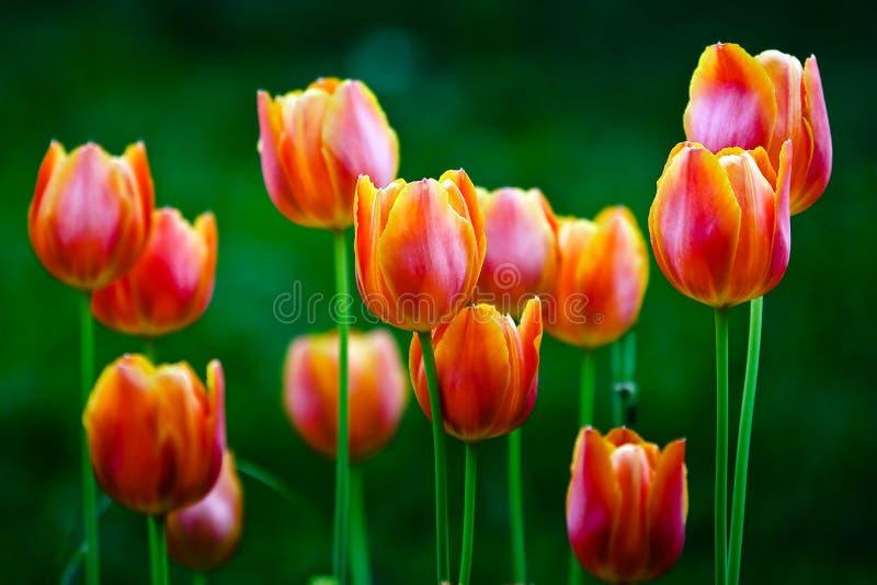Tulip fotografia de stock