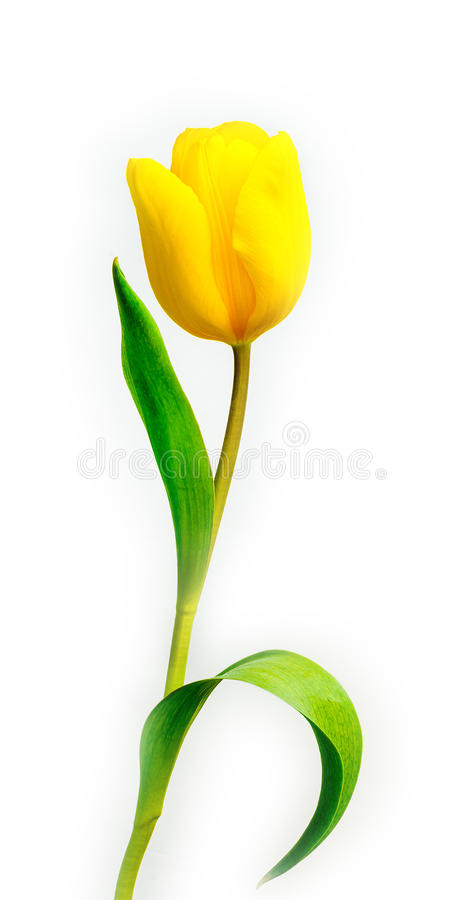 Free Tulip Royalty Free Stock Images - 89537199