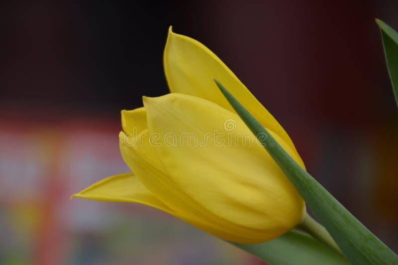Tulip From Above gialla immagini stock libere da diritti