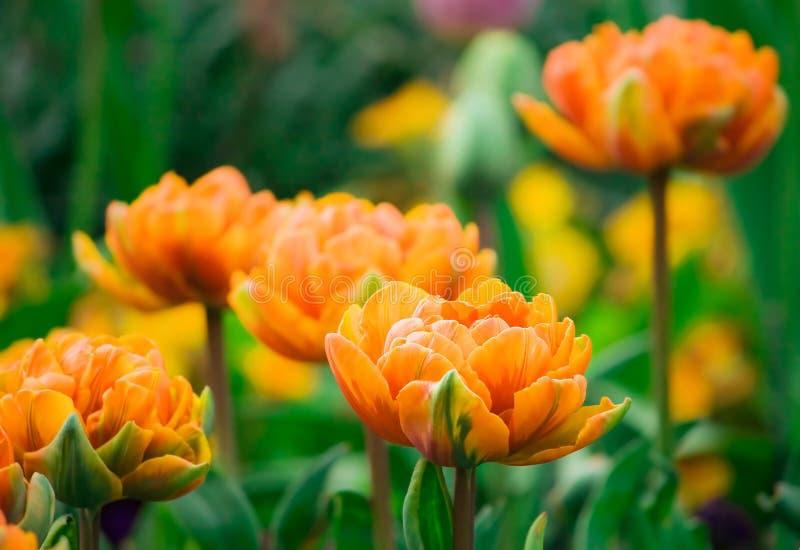 Tulip alaranjado fotografia de stock