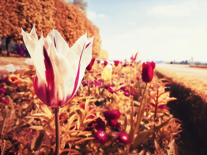 Tulip alley blooming, abstract colors. Abundance of flowers growing in a field stock photos