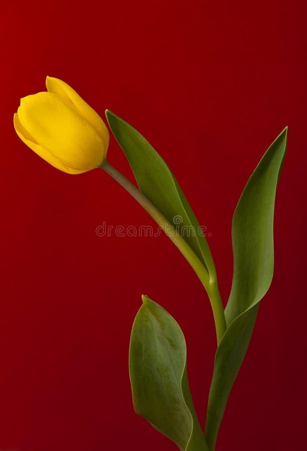 Tulip amarelo fotografia de stock royalty free