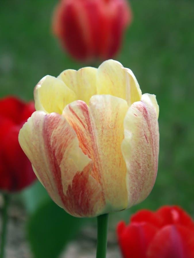 Download Tulip Amarelo & Vermelho Imagem de Stock - Imagem de jardins, planta: 103405