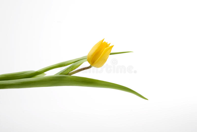 Tulip amarelo holandês fotos de stock