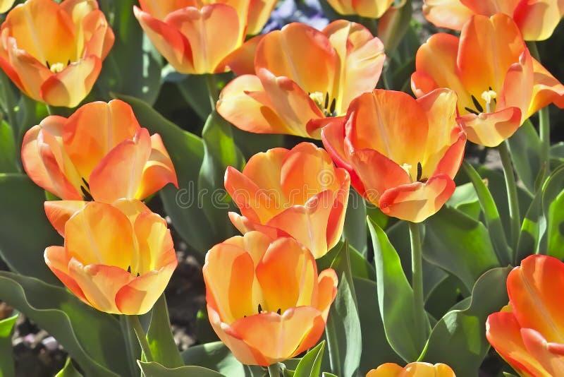 Tulip American Dream Tulipa, Liliaceae in de lente royalty-vrije stock afbeelding