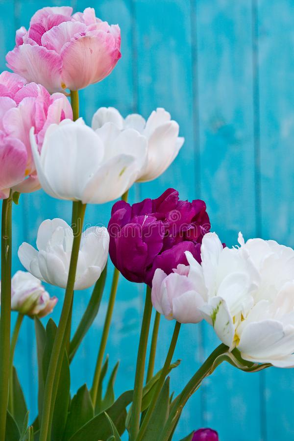 Tulip Angelique. Double Peony shape Tulip. Late flowering tulip stock images