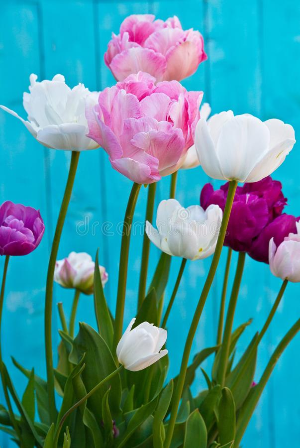 Tulip Angelique. Double Peony shape Tulip. Late flowering tulip stock photography