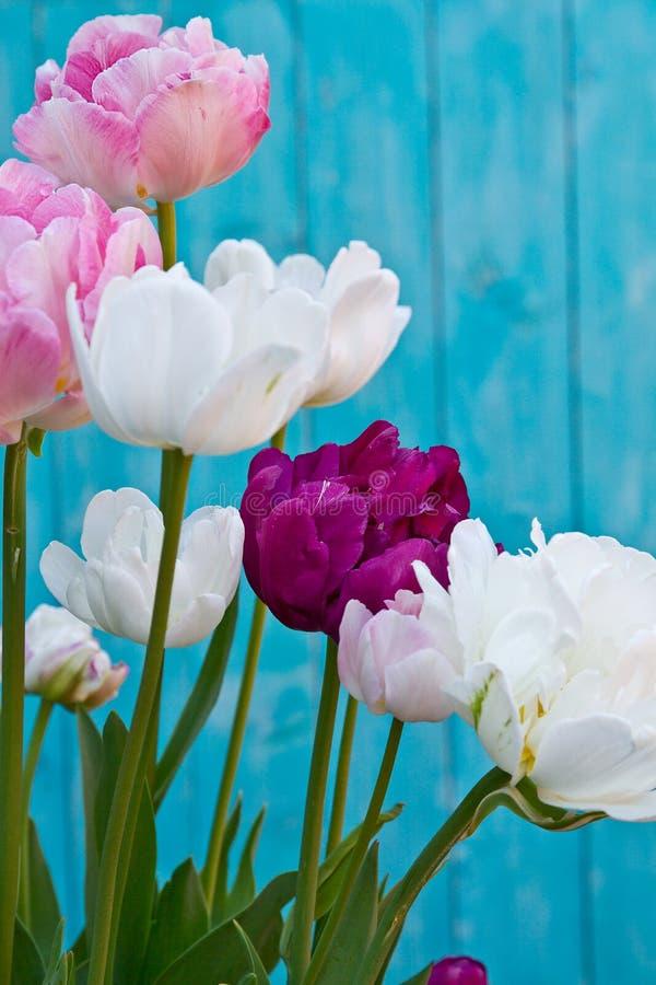 Tulip Angelique Dubbel pionformtulpan Sen blomma tulpan arkivbilder