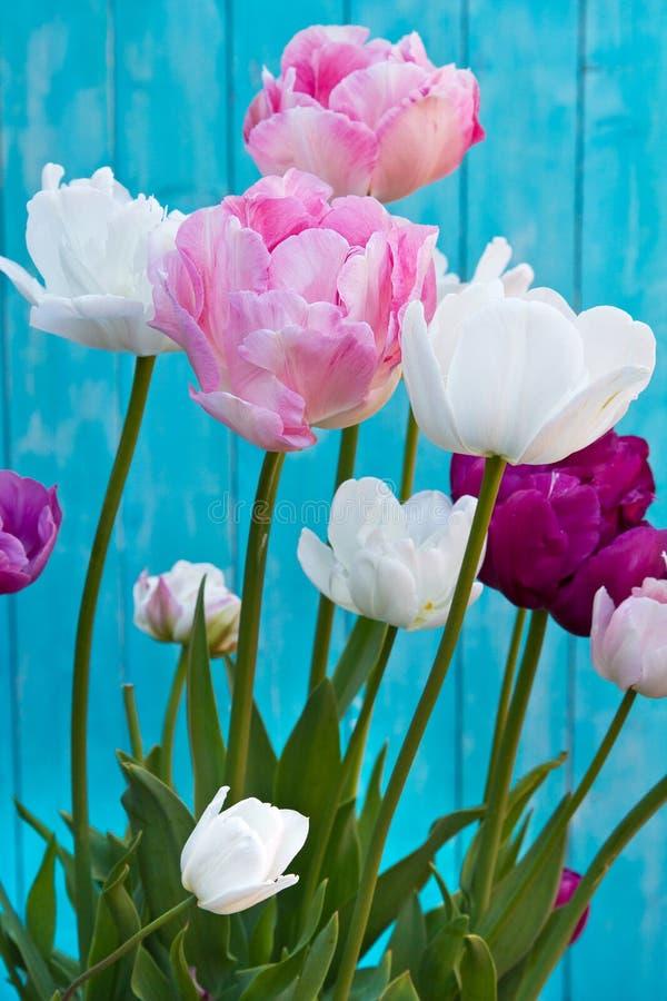 Tulip Angelique Dubbel pionformtulpan Sen blomma tulpan royaltyfri foto