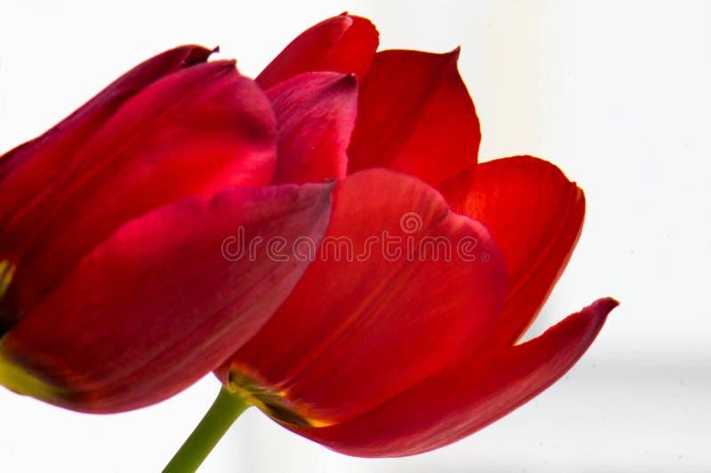 Tulip Background lizenzfreies stockbild