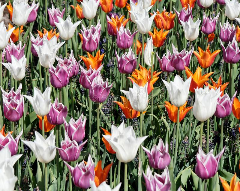 Download Tulip Bed stock image. Image of garden, farm, flowerbed - 8427257