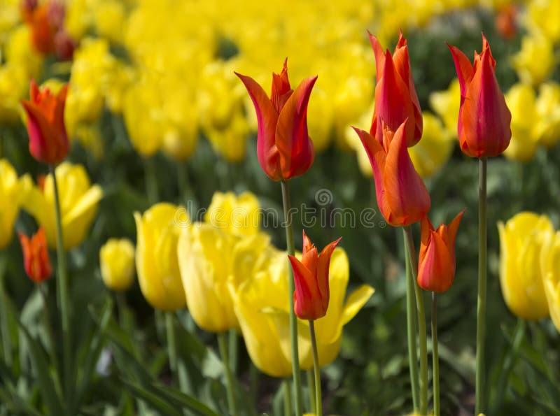 Tulip Beds arkivfoto