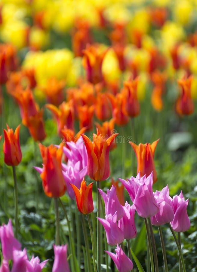 Tulip Beds arkivbild