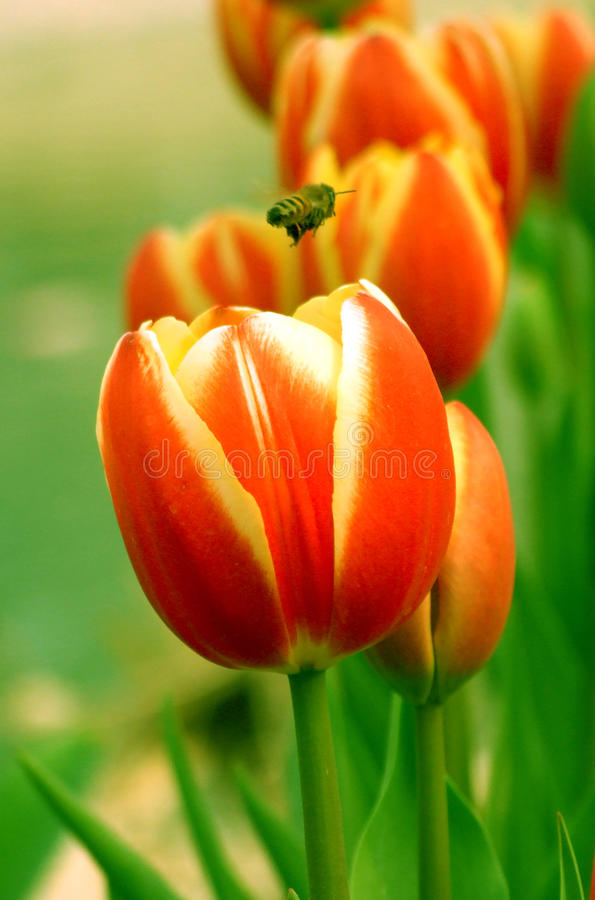 Tulip and bee flying royalty free stock image