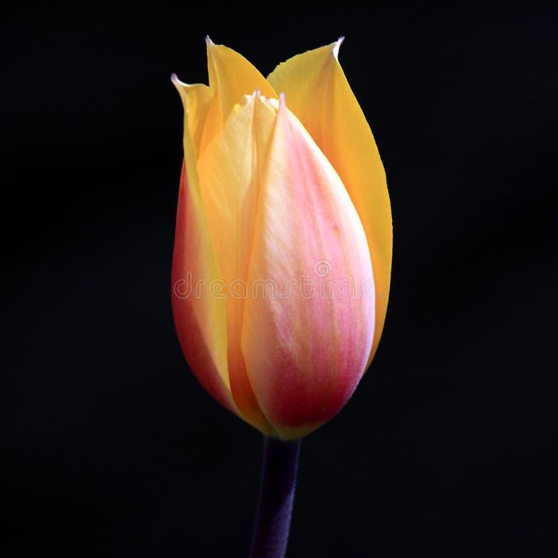 Download Tulip on black stock image. Image of black, green, garden - 11711297