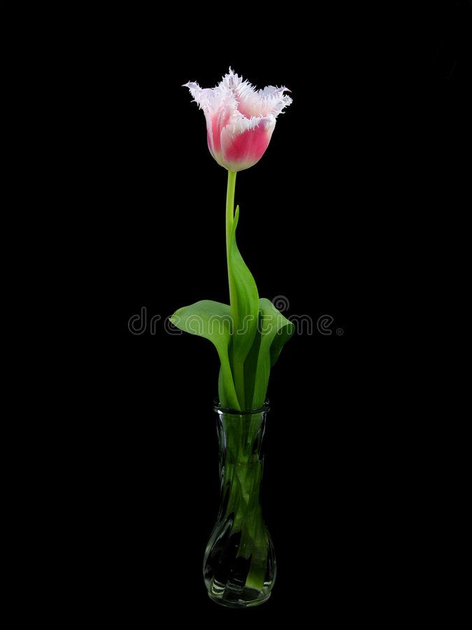 Download Tulip In Black Background Stock Photo - Image: 516240