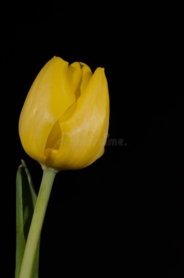 Tulip Black Background jaune 3 image libre de droits