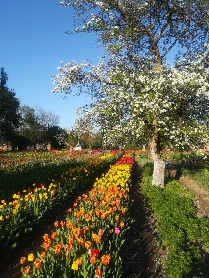Tulip blooming stock image
