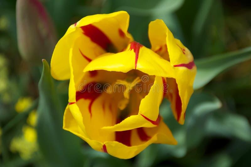 Tulip Blooming roja y amarilla en primavera imágenes de archivo libres de regalías