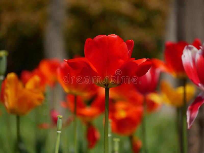 Tulip Blooming rouge images libres de droits