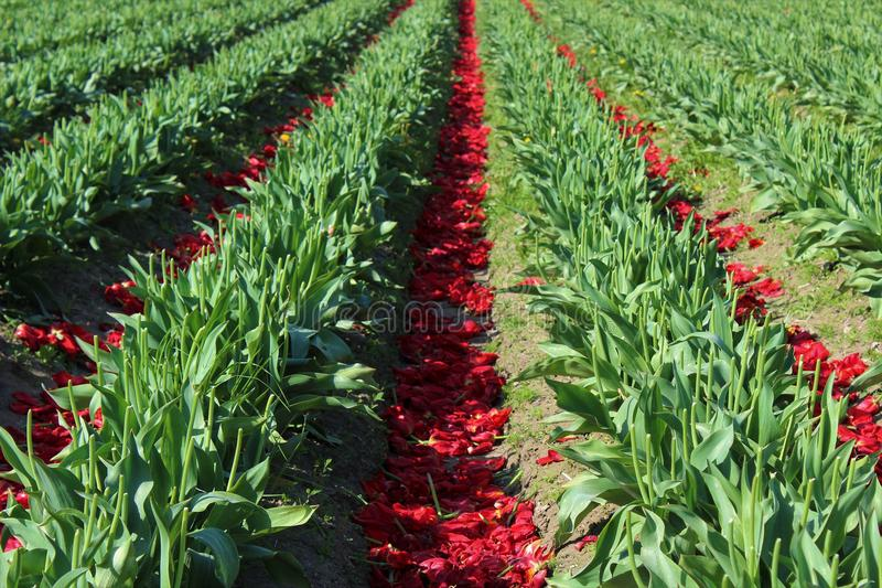 After the bloom. Tulip blooms are discarded to benefit the bulbs for next season royalty free stock photography