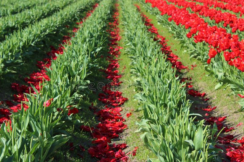 After the bloom. Tulip blooms are discarded to benefit the bulbs for next season royalty free stock images