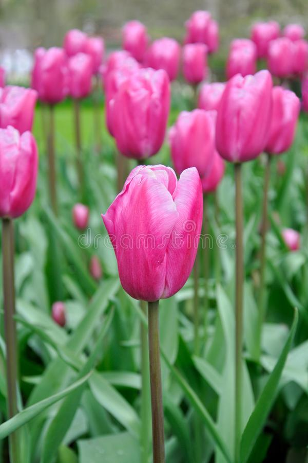 Tulip blossom. Close-up pink flowers field outdoors royalty free stock images